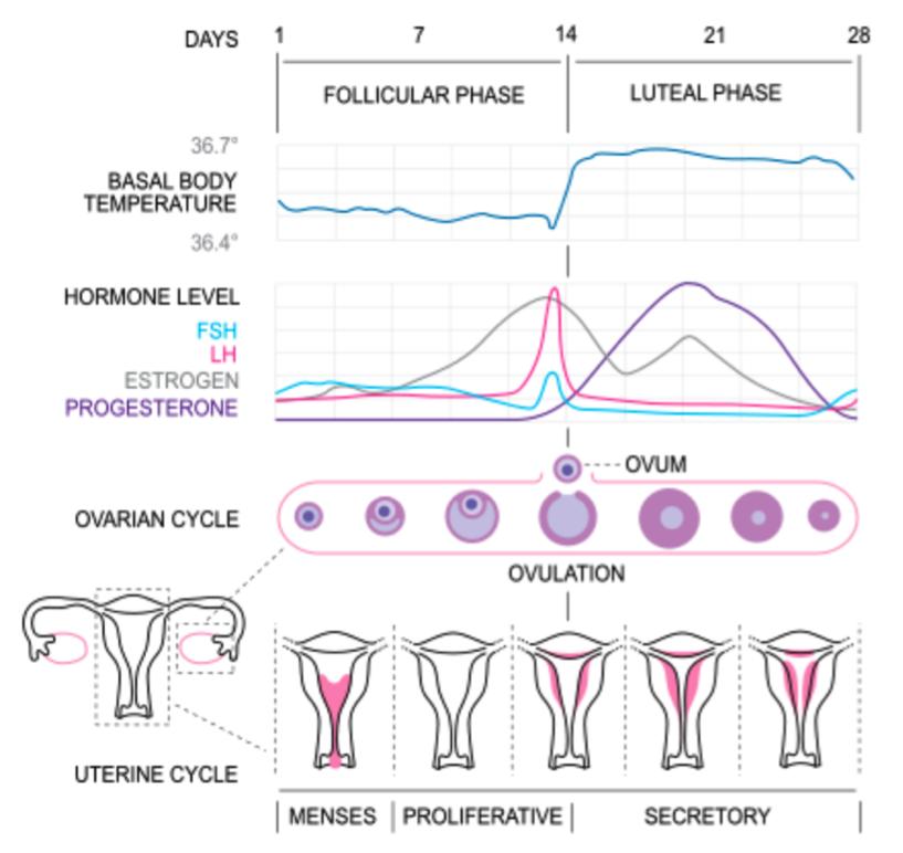 Menstrual Cycle Chart